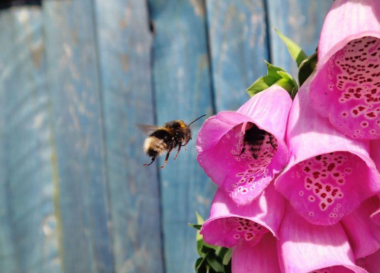abelha_florrosa